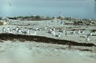 Hülgesaar (Seerobbeninsel) (Allirahu)